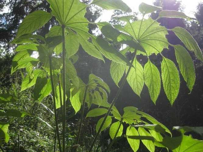 une recommandation pour 2 plantes de la pépinière de Saint-Ilan lors des journées des plantes de Chantilly brassaiopsisaujardinjunglekarlostachys